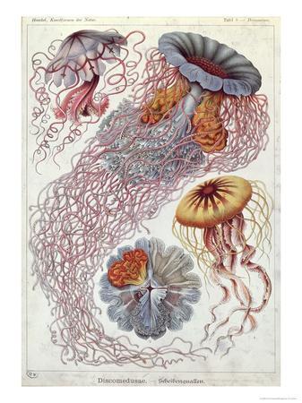 Jellyfish, from Kunstformen Der Natur, 1874