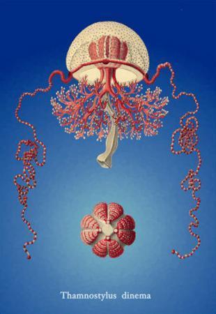 Jellyfish: Thamnostylus Dinema by Ernst Haeckel