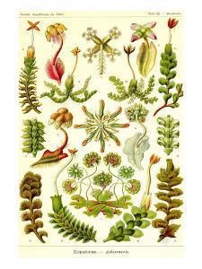 Liver Warts by Ernst Haeckel