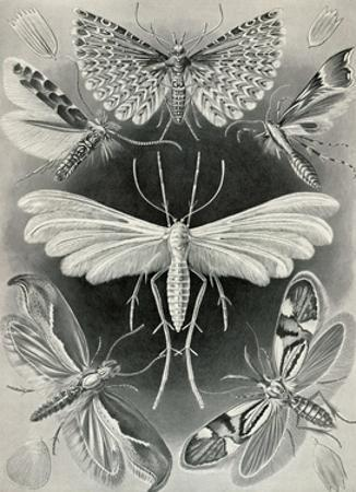 Moths -Tineida
