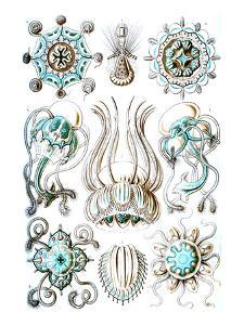 Narcomedusae by Ernst Haeckel