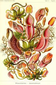 Pitcher Plants by Ernst Haeckel