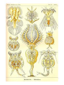 Rotatoria, Rotifera Worms by Ernst Haeckel
