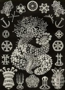 Sea Cucumbers by Ernst Haeckel