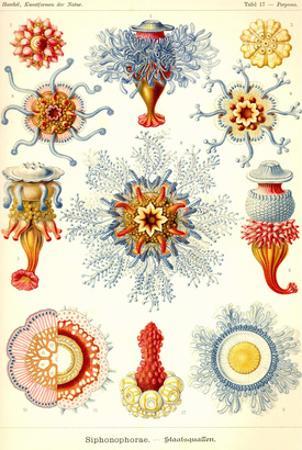 Siphoneae Hydrozoa