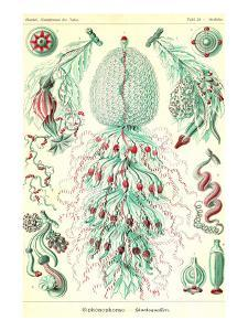 Siphoneae Hydrozoa by Ernst Haeckel