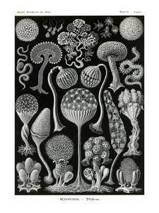 Slime Molds by Ernst Haeckel