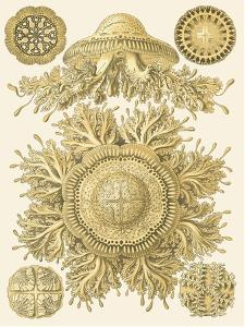 Sophisticated Sealife I by Ernst Haeckel