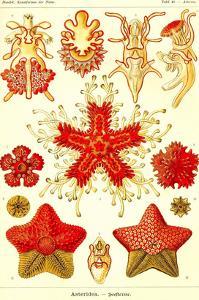 Starfish by Ernst Haeckel