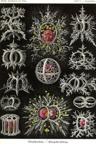 Stephoidea by Ernst Haeckel