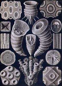 Tetracoralla - Coral by Ernst Haeckel