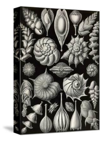 Thalamophora - Forminifera