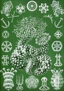 Thuroidea from 'Kunstformen Der Natur', 1899 by Ernst Haeckel