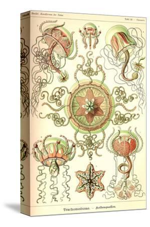Trachomedusae - Jellyfish