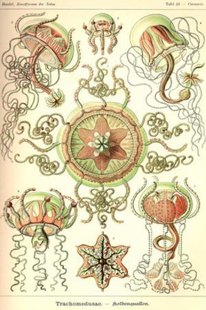 Trachomedusae - Jellyfish by Ernst Haeckel