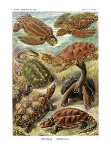 Turtles by Ernst Haeckel