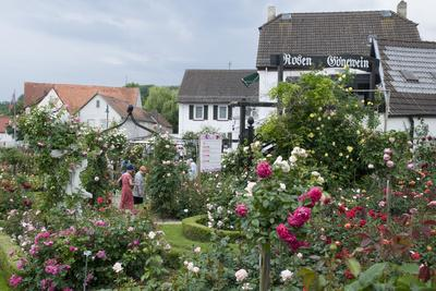 Rose Garden, Steinfurth, Wetterau, Hessian, Germany