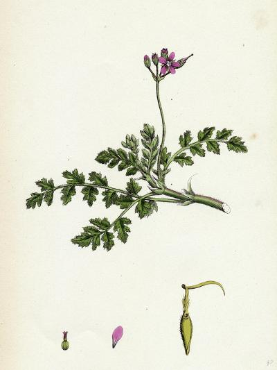 Erodium Cicutarium Common Stork'S-Bill--Giclee Print