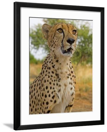 Erongo Region, Damarland, A Cheetah, Namibia-Mark Hannaford-Framed Photographic Print