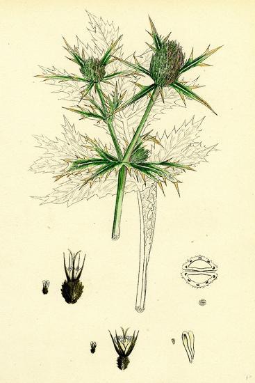 Eryngium Campestre Field Eryngo--Giclee Print