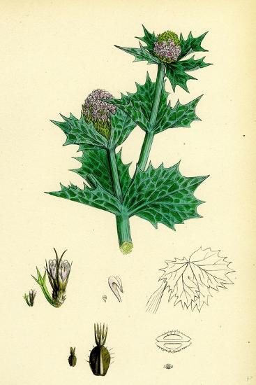 Eryngium Maritimum Sea-Holly--Giclee Print