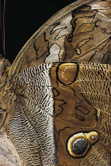 Eryphanis Aesacus (Giant Owl Butterfly) - Wings Detail-Paul Starosta-Photographic Print