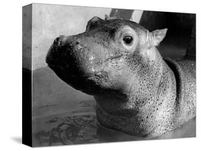 Esme, Two Month Old Hippopotamus, April 1973