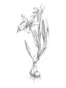 Botanical Sketch I by Ethan Harper