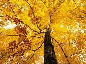A Sugar Maple (Acer Saccharum) in Fall Colours, Mississagi Provincial Park, Ontario, Canada by Ethan Meleg