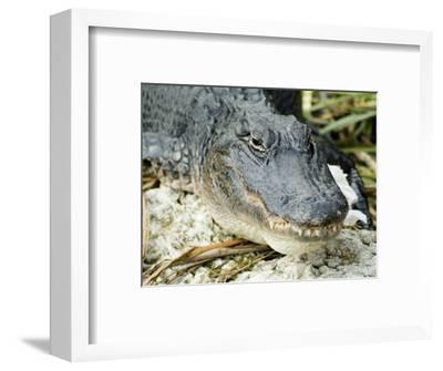 Alligator, Everglades National Park, Florida, USA