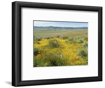 Antelope Valley Poppy Reserve, California, USA