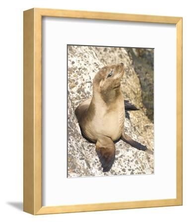 Baby Harbor Seal, Child's Beach, La Jolla, Near San Diego, California, USA