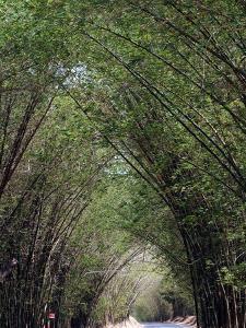 Bamboo Avenue, St. Elizabeth, Jamaica, West Indies, Caribbean, Central America by Ethel Davies