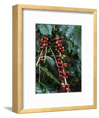Blue Mountain Coffee Beans, Lime Tree Coffee Plantation, Blue Mountains, Jamaica, West Indies