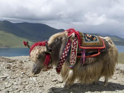 Decorated Yak, Turquoise Lake, Tibet, China