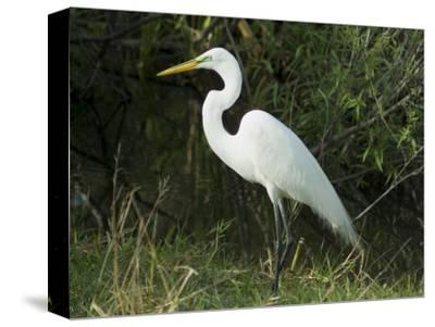 Egret, Everglades National Park, Unesco World Heritage Site, Florida, USA
