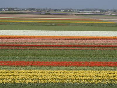 Fields of Flowers Growing Near Keukenhof Gardens, Near Leiden, Netherlands, Europe