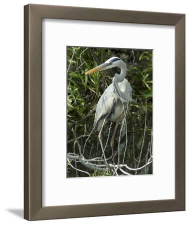 Great Blue Heron, Everglades National Park, Unesco World Heritage Site, Florida, USA