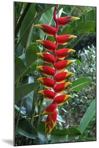 Heliconia Flowering Plant, Jamaica, West Indies, Caribbean, Central America by Ethel Davies