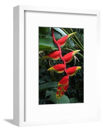 Heliconia Flowering Plant, Jamaica, West Indies, Caribbean, Central America