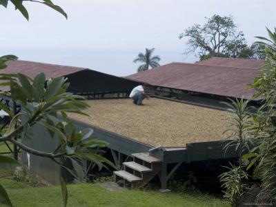 Kona Coffee Beans Drying in the Sun, Greenwell Coffee Plantation, Kona, Hawaii