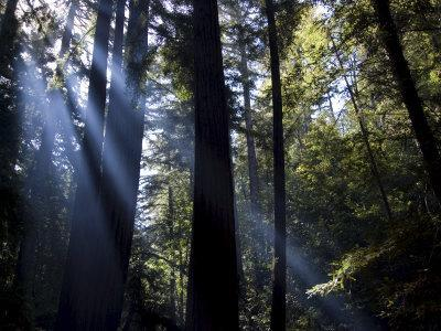 Redwood Forest, Ventana, Big Sur, California, United States of America, North America