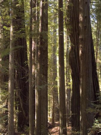 Redwoods, Humboldt County, California, USA