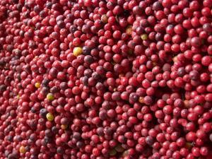 Ripe Coffee Beans, Recuca Coffee Plantation, Near Armenia, Colombia, South America by Ethel Davies