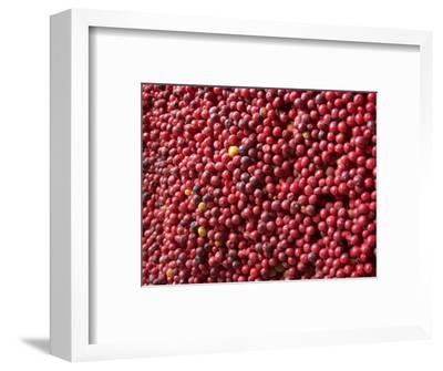 Ripe Coffee Beans, Recuca Coffee Plantation, Near Armenia, Colombia, South America
