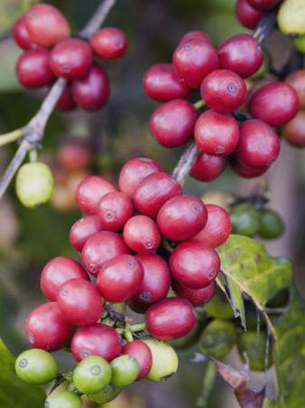 Ripe Coffee Berries, Kona Joe's Coffee Plantation, Kona, Hawaii