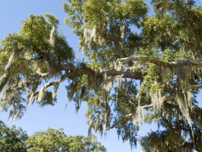 Spanish Moss in Tree, Bayou Le Batre, Alabama, USA