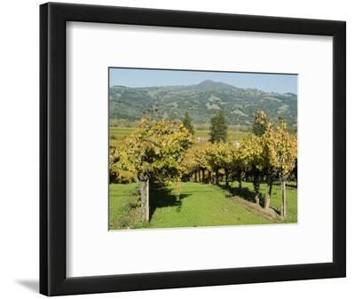 Vineyard, Sonoma County, California, USA