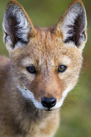 Ethiopian Wolf (Canis Simensis) Portrait Of Pup, Bale Mountains National Park, Ethiopia-Will Burrard-Lucas-Photographic Print