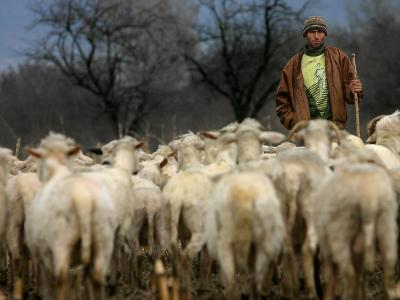 Ethnic Albanian Shepherd Herds His Sheep in the North-West Macedonian Village of Galata--Photographic Print